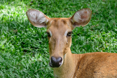 burmese: Burmese brow-antlered deer or Rucervus eldii thamin. Stock Photo