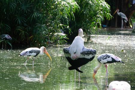 difficult lives: Lesser adjutant stork in its habitat, zoo Thailand