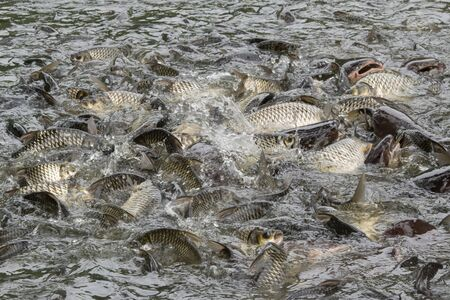 freshwater: A lot of fish in the water. Fishing. Big fish. Catfish. Plenty of freshwater fishes swimming under water