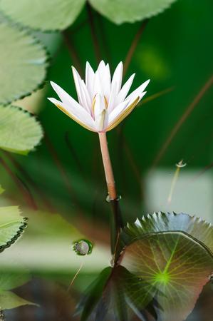 Lotus is blooming beautiful in the pool.