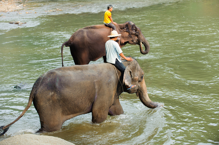 Asian elephants bath in the northern Thailand on January 08, 2015.