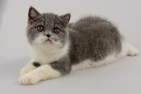 dilute: exotic shorthair cat on white background, Blue and white