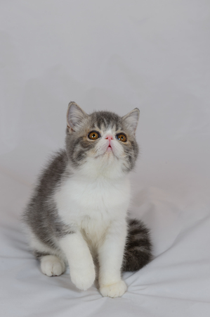 dilute: exotic shorthair cat on white background, Blue Tabby and white
