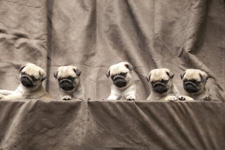 pug puppy: pug puppy cute