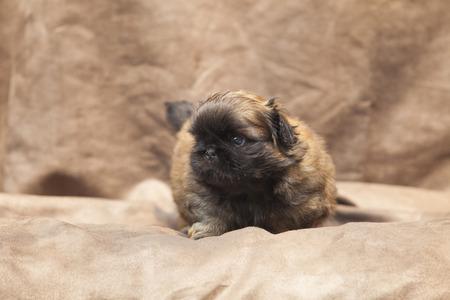 pekingese: Pekingese dog baby cute