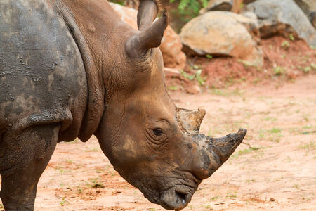 A close up photo of an endangered white rhino\\ photo