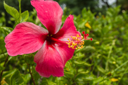 Close up Hibiscus flower or Hibiscus syriacus L and Queen of Tropic Flower photo