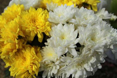african daisy: african daisy or gerbera yellow gerbera and gerbera white flower