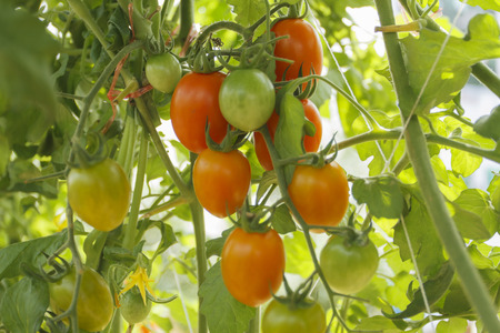 organic tomato plant and fruit on a natural background