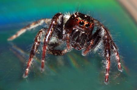 Macro shoot of Salticus scenicus jumping spider