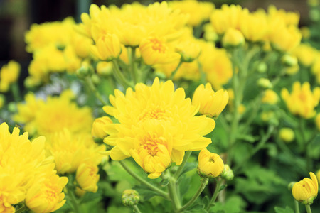 Yellow and white blossom Chrysanthemum farm inside greenhouse for background Stock Photo