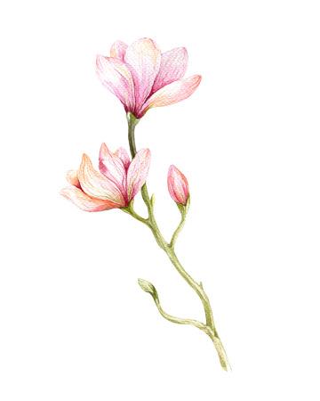 Aquarelle Magnolia Peinture fleurissent art papier peint de fleurs de décoration. Hand drawn isolé agrandi arbre floral illustration. Decorative élément de fleurs naturelles. Vintage background art watecolour. Banque d'images