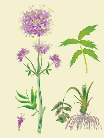 valerian: Radice e piante officinali valeriana - fioritura Vettoriali