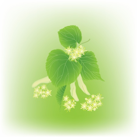 lindeboom: Bloeiende linden tak