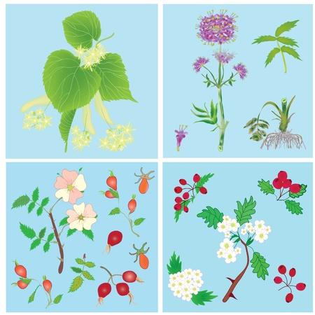 dog rose: Set of officinal plants- linden, valerian, dog rose, hawthorn