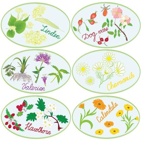 valerian: Set di icone con le erbe per la farmacia verde