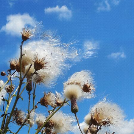 thistle plant:    White fuzzy wild flowers with flying seeds on blue sky background with light clouds        Stock Photo