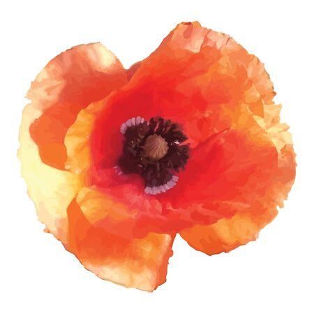 flor aislada: Flor de amapola roja sobre fondo blanco