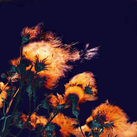 dry flower: Silhouettes of bright fuzzy dry flowers and flying seeds on dark background
