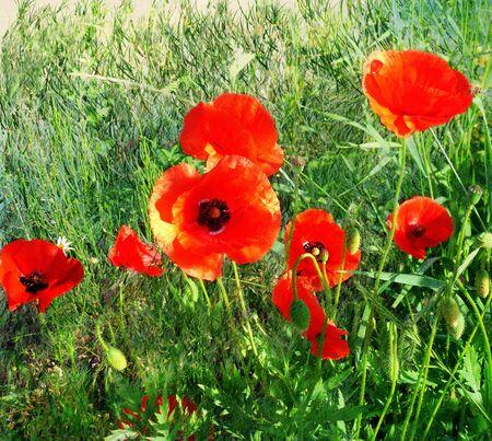 fiori di campo: I papaveri rossi luce del sole in erba verde