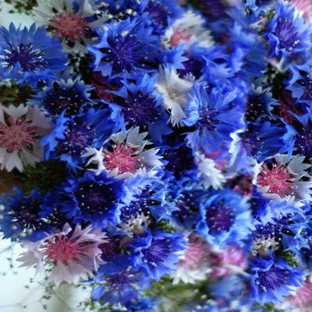 cornflowers: Floral background with blue and white cornflowers Stock Photo