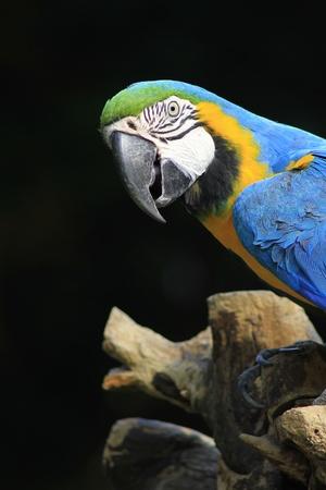 yelow: blue and yelow macaw Stock Photo