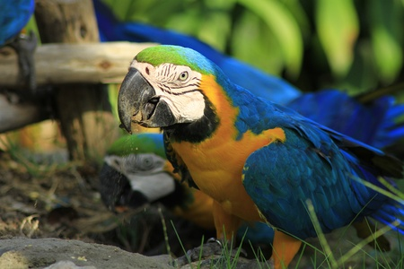 blue and yelow macaw Stock Photo
