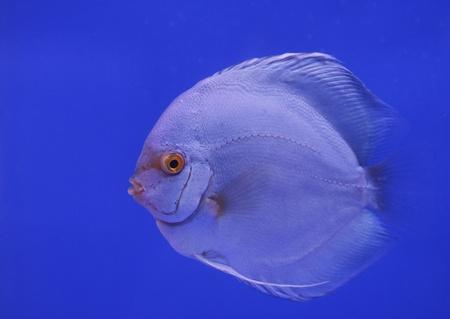discus fish Stock Photo - 13195279