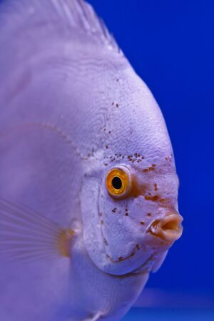 discus fish Stock Photo - 13195268