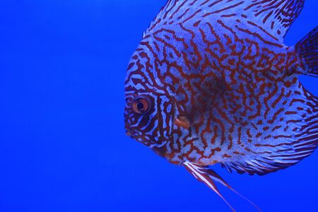snakeskin discus fish photo