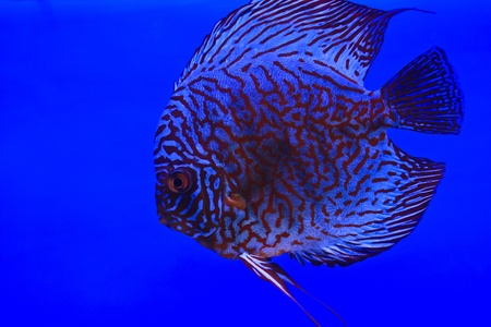 snakeskin discus fish Stock Photo - 13195278