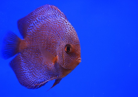 discus fish  Stock Photo - 13195276