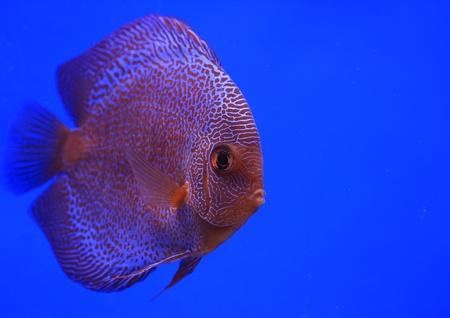 discus fish Stock Photo - 13195276