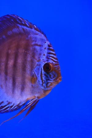 discus fish Stock Photo - 13195271