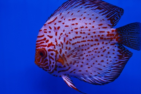 discus fish  Stock Photo - 13195272