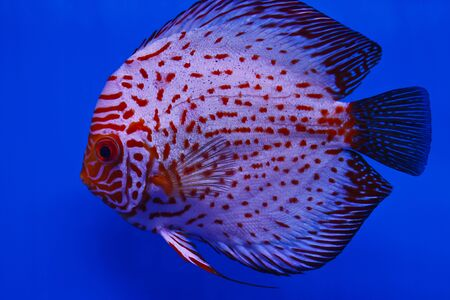 discus fish  Stock Photo - 13195273