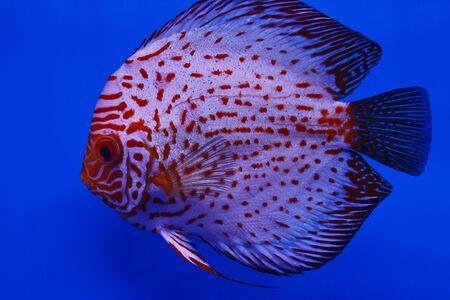 discus fish:  discus fish