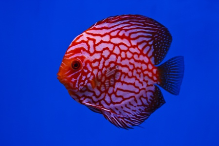 Pigeon Blood discus fish