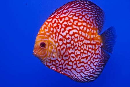 snakeskin discus fish Stock Photo - 13195270