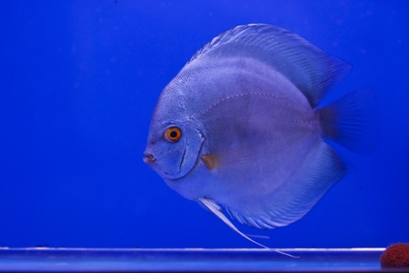 discus fish Stock Photo - 13195255