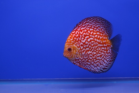 snakeskin discus fish Stock Photo - 13195277