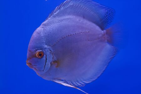 discus fish Stock Photo - 13195254