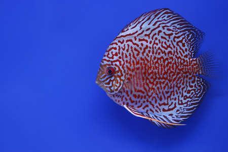 snakeskin discus fish Stock Photo
