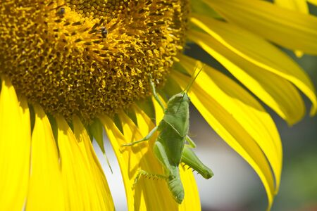 Green grasshopper isolated on sunflower photo