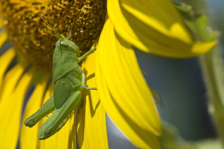 Green grasshopper isolated on sunflower photo