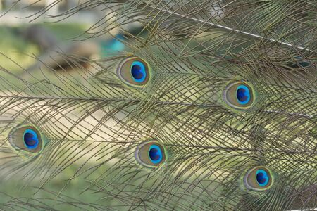 Portrait of Peacock with Feathers Out Stock Photo - 13659735