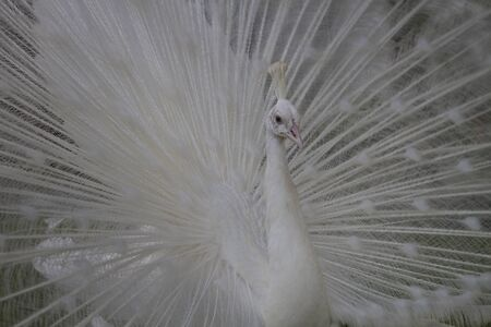White Peacock walking with feathers outstretched photo