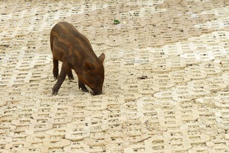 wild Boar is eating photo