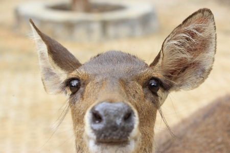 white tail deer: close up portrait of a cute white tail deer fawn