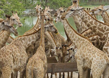 group of Giraffes in  park,Thailand